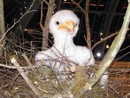 baby eagle1