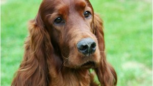 150308164235-irish-setter-jagger-died-after-crufts-medium-169