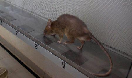 rats-582838